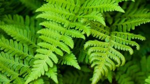 ferns are extremely resilient